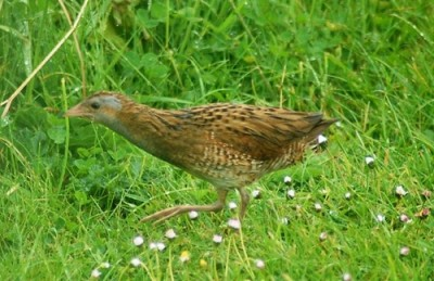 Corncrake on Tory Island - photo by 	 Rachel Davies. The corncrake starts calling on Tory Island from the first day of May until the first week in July